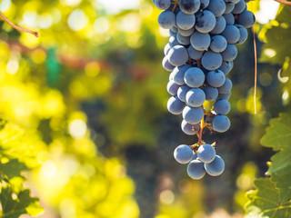 Vineyard Fototapete