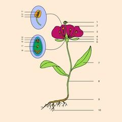 botanic, educational illustration of flower morphology