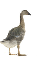 Isolated domestic goose