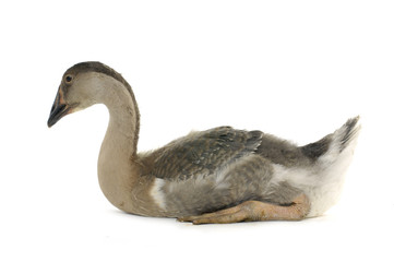 Single domestic goose portrait