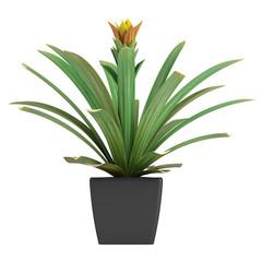 Flowering guzmania plant