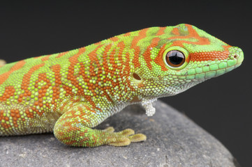 Giant day gecko / Phelsuma madagascariensis