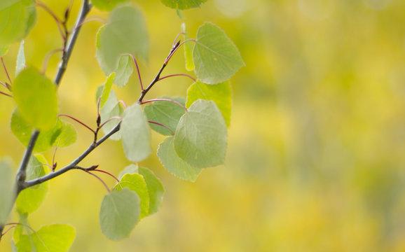 Aspen leaves in fall