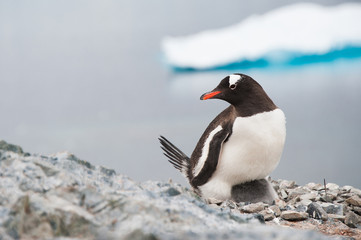 Gentoo penguin on the nest, Antarctica