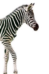 Foto op Canvas Zebra New born baby zebra isolated on white