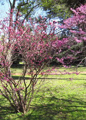 Pink blossoming bushes in a botanical spring garden
