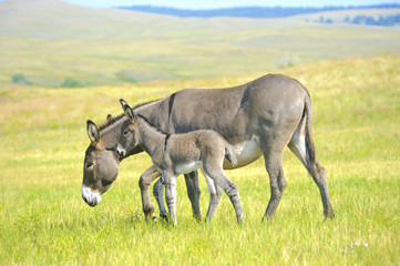 Spoed Foto op Canvas Ezel Mother and Baby Burro