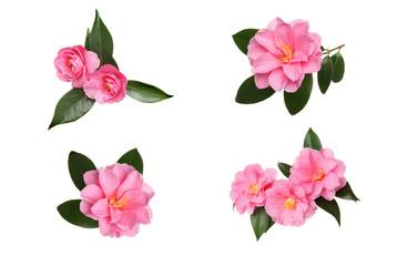 Camellia selection