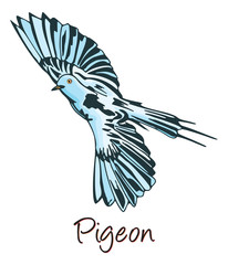 Pigeon, Color Illustration