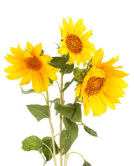 beautiful sunflowers, isolated on white