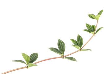 striped leaf branch isolated