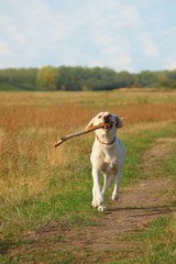 Labrador running with piece of wood in his mouth