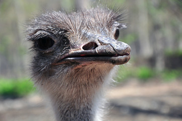 Curious look of ostrich bird