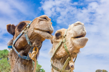 Camel couple