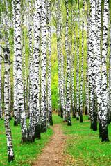 Spoed Foto op Canvas Berkbosje Pathway in autumn birch grove