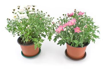 Chrysanthemum flowers in two pots