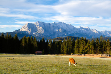 young alpine cow on pasture