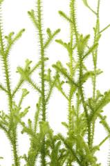 Close up of fir tree branch