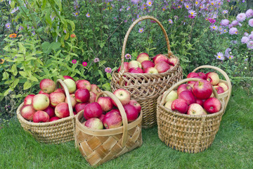Red sweet apples in baskets