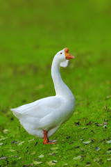 A white goose on green grass