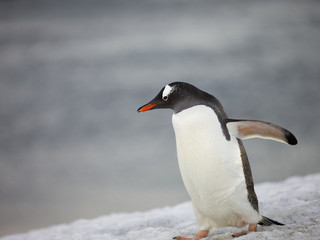 penguin walking on the snow