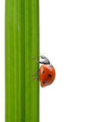 Ladybug on a green blade of grass