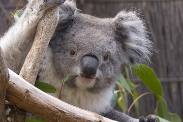 Koala looking from the branches, Australia