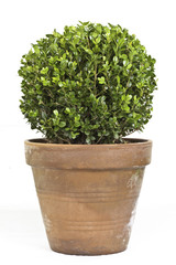 Boxwood or Buxus plant