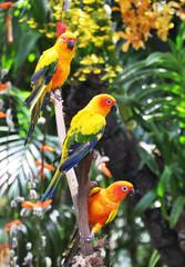Three Sun Conure parrots