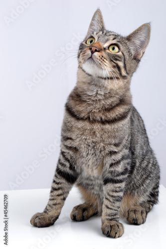 chat tigr europ en regardant en l 39 air photo libre de droits sur la banque d 39 images fotolia. Black Bedroom Furniture Sets. Home Design Ideas