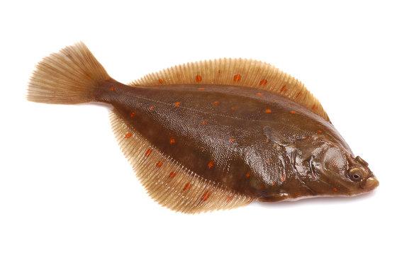 Plaice Fish