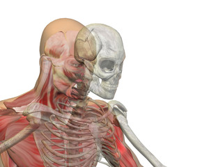 Anatomy conceptual human body chest, head isolated