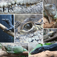 Collage Reptile Crocodile black monitor and iguana