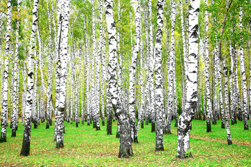 Spoed Foto op Canvas Berkbosje September autumn birch grove