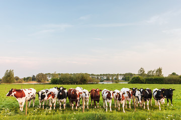 Large row of Dutch milk cows with a river in the back