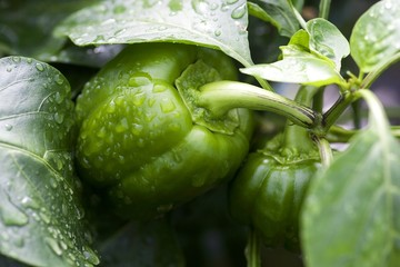 Green bell pepper and leaves covered with water drops