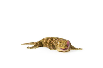 New Caledonian Giant Gecko on White Background