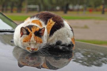 Tortie cat sleeps reflected in the hood of car
