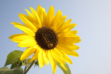 Sunflower and Bee against Blue Sky Background
