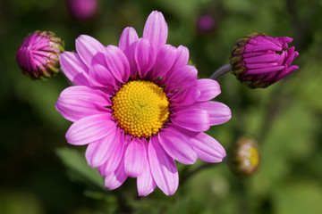 beautiful pink chrysanthemum with buds in the garden