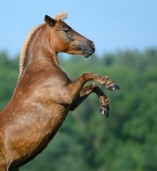 Fototapete - Rear sorrel highland pony
