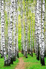 Spoed Foto op Canvas Berkbosje First days of autumn in birch grove