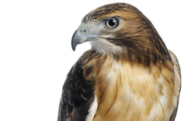 Red-tailed Hawk on White Wall mural