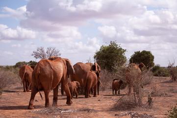 Elefanti rossi