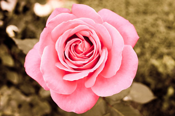 Close up picture of a gentle beautiful rose, retro style