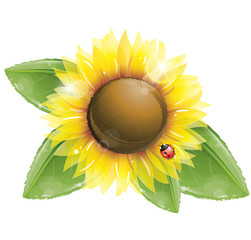 Beautiful sunflower and green leaves isolated on white
