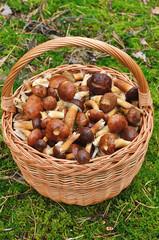 Basket full of mushrooms in forest.