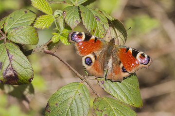 Peacock butterfly  ( Inachis io)