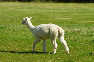 White Alpaca from the rear