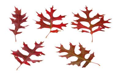 Autumn american oak leaves